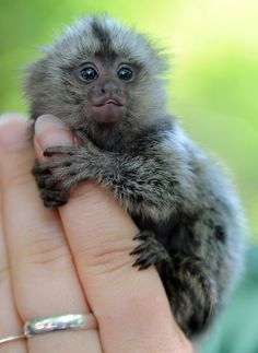 Monkeys For Sale in Knoxville Tennessee Free Ads Knoxville Monkeys