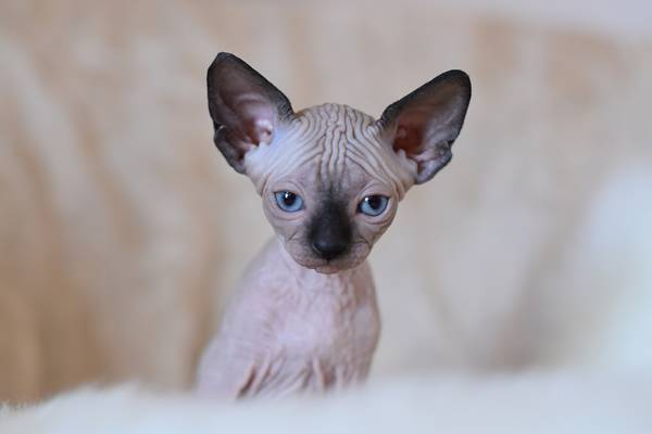 Cats and Kittens for Sale in Belfair Washington Free Ads