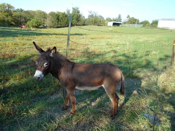 Donkeys For Sale in Omaha Nebraska Free Ads Omaha Donkeys For Sale
