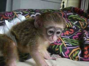 Monkeys For Sale in Memphis Tennessee, Craigslist Classifieds