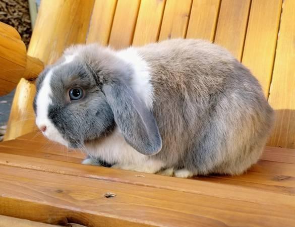 Rabbits For Sale In Monroe North Carolina