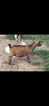Goat For Sale In Hibbing Minnesota