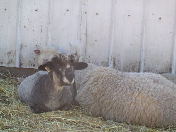 Sheep For Sale in Snohomish Washington, Craigslist Classifieds